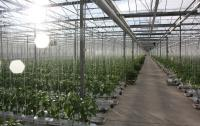 Glasshouses growing salads and herbs