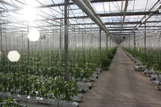 UK Salads glasshouses growing salads and herbs