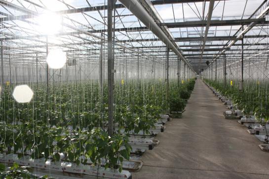 UK Salads glasshouses growing salads and herbs